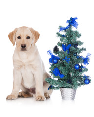 labrador puppy with a small Christmas tree