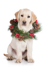 labrador retriever puppy with a wreath