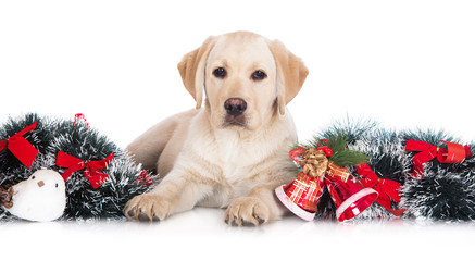 adorable labrador puppy with Christmas decorations