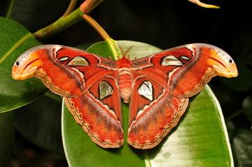 World largest moth,the Atlas moth