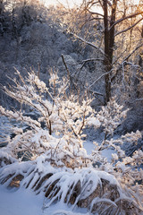 Trees in snowy forest after winter storm