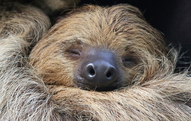 Close-up view of a Two-toed sloth
