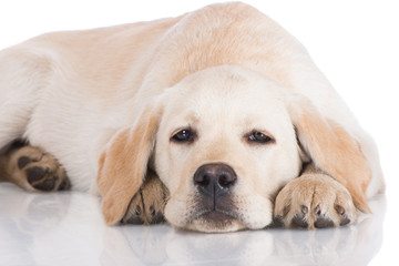 sad yellow labrador puppy