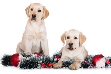 two yellow labrador puppies with Christmas decorations