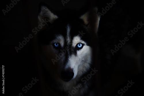 Deurstickers Wolf siberian husky