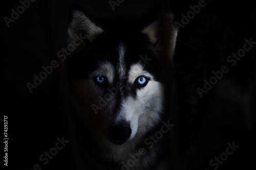 siberian husky - 74393717