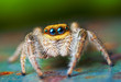 Leinwanddruck Bild - Jumping spider