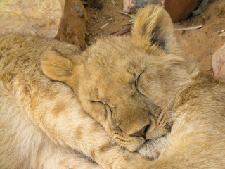 Close-up of a lion cub sleeping in Kruger National South Africa.
