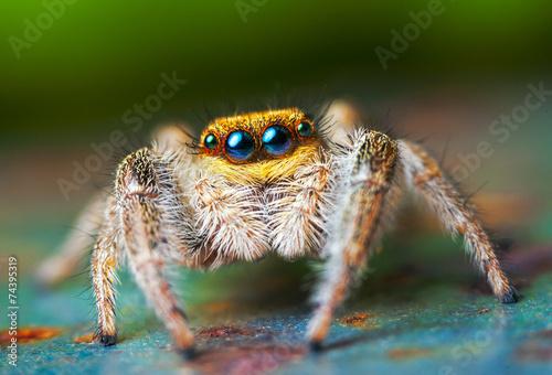 Leinwanddruck Bild Jumping spider