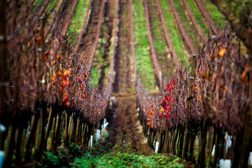 Vineyards in Tuscany Maremma during Winter