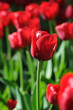 canvas print picture - rote Tulpen
