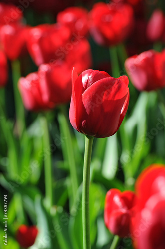 canvas print picture rote Tulpen
