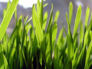 Green wheat close up