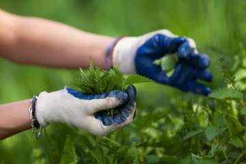 Farmer lady picking nettles