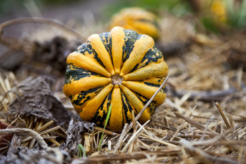 Pumpkin in a vegetable garden