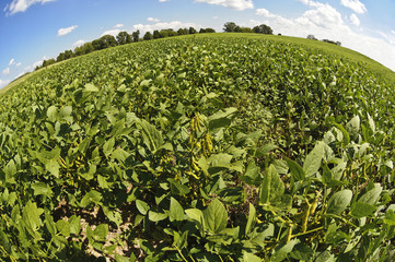 Field of Soybeans Ready For Harvest
