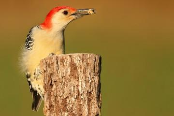 Woodpecker on a tree trunk