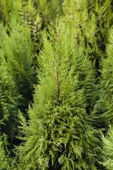Cheristmas Trees