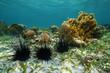 Leinwanddruck Bild - Long spined sea urchins underwater