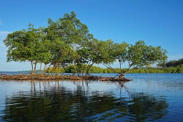 Mangrove trees in the water Caribbean sea Panama