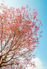 Beautiful cherry blossom (Sakura), Chiang Mai, Thailand
