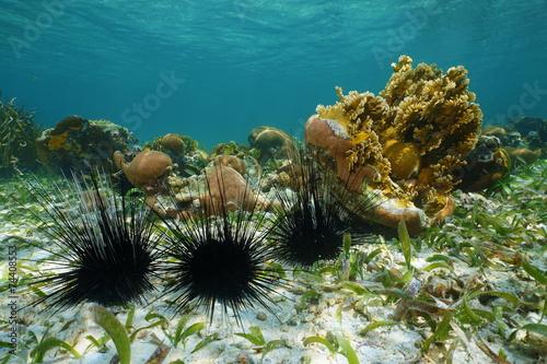 Leinwanddruck Bild Long spined sea urchins underwater