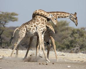 Etosha National Park Namibia, Africa  giraffe fighting.