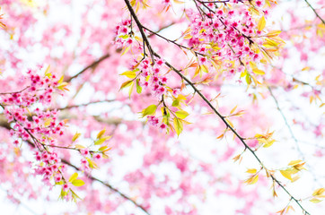 cherry Blossoms tree with sunny day