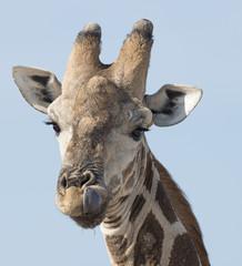 Etosha National Park Namibia, Africa  giraffe.