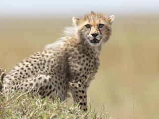africa kenya Masai Mara reserve cheetah cub