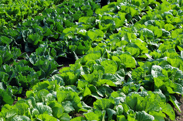Napa cabbage-3