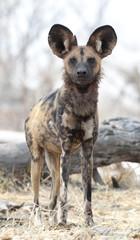 africa Botswana Okavango  delta,wild dogs