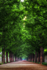 Damyang Metasequoia Road in South Korea. Taken in summer.