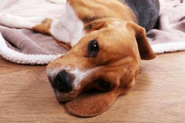 Beagle dog close-up