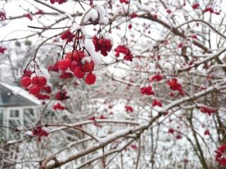 Kalina w zimie