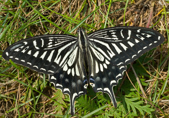 Butterfly (Papilio xuthus) 24