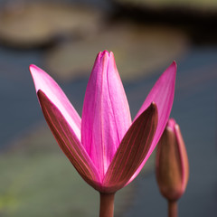 Close-up pink water lily