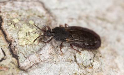 Flat bug, Aneurus avenius on wood