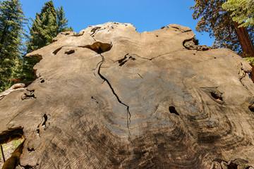 Giant sequoia tree in Sequoia National Park, California