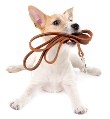 Funny little dog Jack Russell terrier with leather leash,