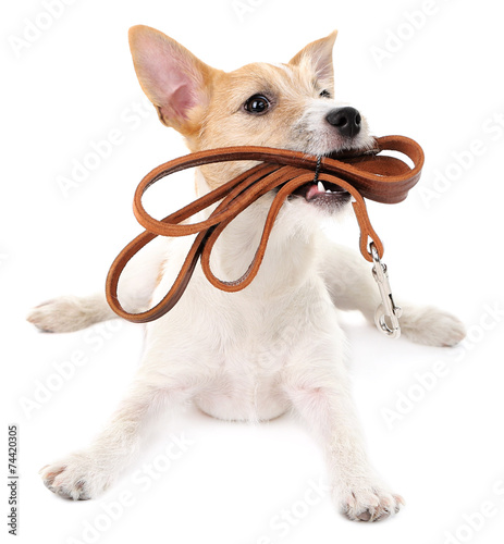 Papiers peints Chien Funny little dog Jack Russell terrier with leather leash,