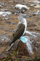 Blue-footed booby at Galapagos island of Seymur Norte. Ecuador
