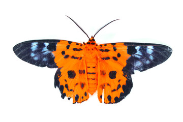 orange and blue butterfly