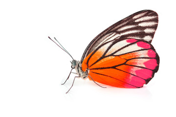 Orange and Pink Butterfly