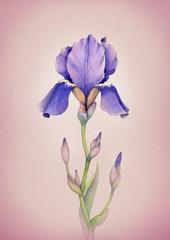 Watercolor iris flower illustration