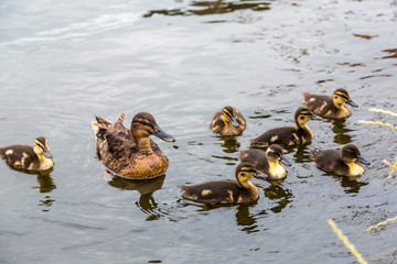 Mother Duck with new born ducklings