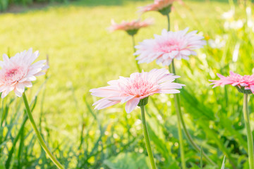 Beautiful pink flower , Gerbera on background