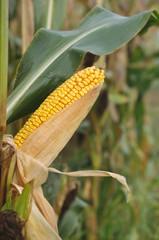 épi de maïs à maturité