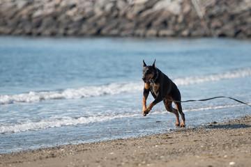 海で遊ぶドーベルマン
