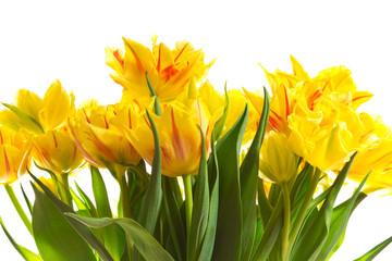 Bunch of yellow tulip flowers
